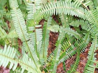 Nephrolepis exaltata - Image: Wild Boston fern