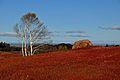 Wild blueberry fields in the fall near Parrsboro (3).jpg
