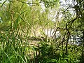 Willows on the banks of the Severn - geograph.org.uk - 462341.jpg