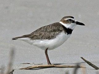Wilsons plover Species of bird