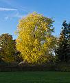 Witte esdoorn (Acer saccharinum). Locatie, Hortus (Haren, Groningen) 01.JPG
