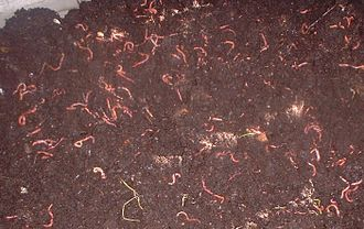 Vermicompost - Worms in a bin being harvested
