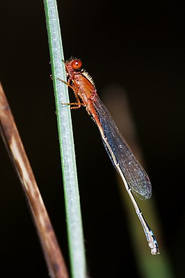 Xanthagrion erythroneurum 1.jpg