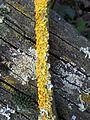 Xanthoria parietina - UK 5.jpg