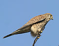 Xoriguer 03 - cernicalo comun - common kestrel.jpg