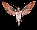 Xylophanes schwartzi MHNT CUT 2010 0 226 rte Gualaceo-Limon PK.44 Morona Santiago, Equateur male ventral.jpg