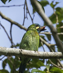 Yellow-eared Barbet.jpg