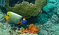 Yellow-face Angelfish (Pomacanthus xanthometopon) (6093643273).jpg