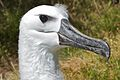 Yellow-nosed albatross 2.jpg