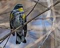 Yellow-rumped Warbler (m), Audubon's (31599921960).jpg