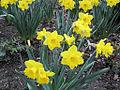 Yellow Daffodils (7051803415).jpg