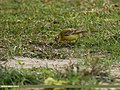 Yellow Wagtail (Motacilla flava) (32517507832).jpg