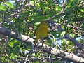 Yellow Warbler - Flickr - GregTheBusker.jpg