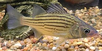 Morone - Image: Yellow bass Morone mississippiensis from Rend Lake, IL