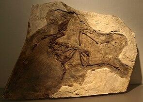 Der Holotyp im Chinesischen Paläozoologischen Museum.