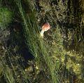 Young Aquatic fungus champignonAquatique à lamelles Moyenne-Deûle 2015 05 45 F.Lamiot.jpg