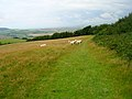 Young Rams, Stenbury Down - geograph.org.uk - 508575.jpg