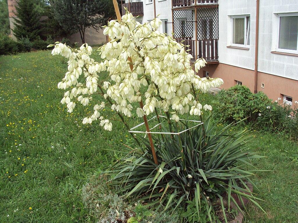 File yuka mexick jpg wikimedia commons for Planta yuca exterior