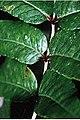 Zanthoxylum clava-herculis 6zz.jpg