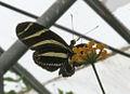 Zebra Longwing butterfly (2765795066).jpg