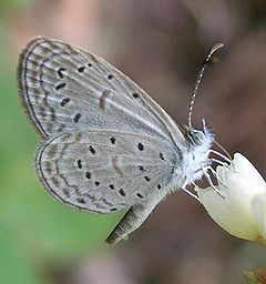 Бабочка Zizula hylax
