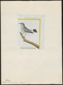 Zosterops borbonica - 1700-1880 - Print - Iconographia Zoologica - Special Collections University of Amsterdam - UBA01 IZ19200099.tif