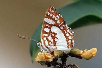Riodinidae - Ariconias glaphyra  in the Pantanal, Brazil