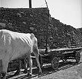 """""""Kozec"""" na vozu (kozec je priprava za vožnjo sena in žita, Pomjan) 1950 (2).jpg"""