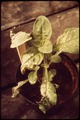 """""""SMOG-DAMAGED"""" PETUNIA AT THE STATEWIDE AIR POLLUTION RESEARCH CENTER - NARA - 542685.tif"""