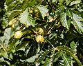 'Aesculus hippocastanum' horse-chestnut conker tree at Feeringbury Manor, Feering Essex England 7.jpg