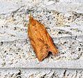 (0998) Epiphyas postvittana - Female - Flickr - Bennyboymothman.jpg