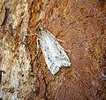 (1336) Eudonia pallida (28058383915).jpg