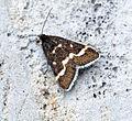 (1366) Pyrausta nigrata (18013917951).jpg