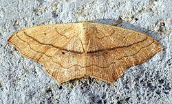 (1690) Small Blood-vein (Scopula imitaria) (14626855733).jpg