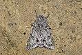 (2279) The Sycamore (Acronicta aceris) (3622890337).jpg