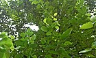 (Pterocarpus santalinus) red sandalwood tree at IG Zoo Park in Visakhapatnam 04.jpg