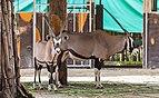 Órice de El Cabo (Oryx gazella), Zoo de Ciudad Ho Chi Minh, Vietnam, 2013-08-14, DD 01.JPG