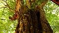 Вековно дърво , Река Трионска.JPG