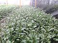 Выращивание хризантем №2.jpg