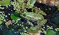 Жаба озерна 3. Біленьке.jpg