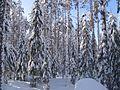 Зимний лес. - panoramio.jpg