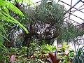 Криворізький ботанічний сад НАНУ - оранжерея, дерево тірукалі.JPG