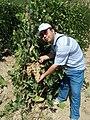Местный сорт винограда Тайфи белый (Паркентский район Ташкентской области).jpg