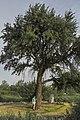 Тарасова груша-дичка на місті старого села Вознесенівка у м. Запоріжжі.jpg