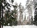 Февральский лес. Петровское. - panoramio.jpg