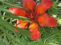 Ծաղիկ՝ լիլիա.jpg