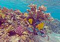 سمك الفراشه بمحمية رأس محمد.jpg
