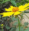 टिक्ली फूल (2).jpg