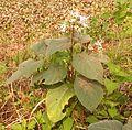 ফুলসহ ভাঁট গাছ Clerondendron viscosum.1.jpg