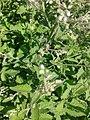 சர்க்கரைத் துளசி- Stevia rebaudiana 3.jpg